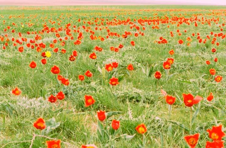 Цветущие тюльпаны в полях Калмыкии