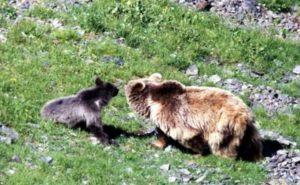 Медведи Абхазии