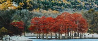 рыжие деревья